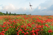 Poppies and Silver Spitfire