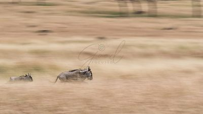 Wildebeest Running Through Grasslands - Panning Blur