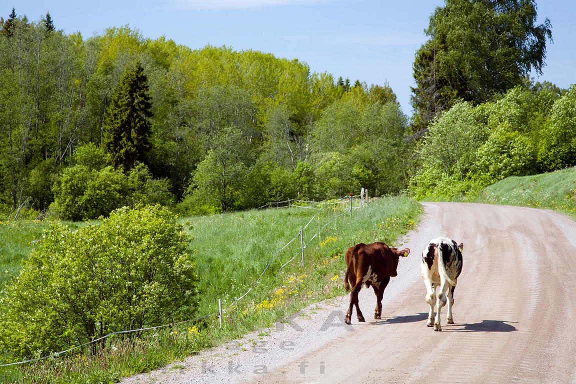 Two Heifers Escaped from Pasturage