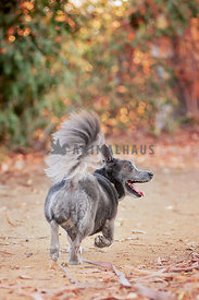 small grey dog wity a fluffy tail walks down a trail