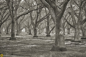 Walnut Orchards #3 - Black & White