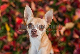Chihuahua begs for attention in fall leaves