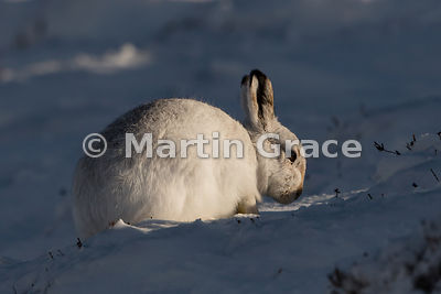 Mountain Hare (Arctic Hare) (Lepus timidus) caught in a narrow beam of late afternoon winter sunshine, in snow, Strathdearn, ...