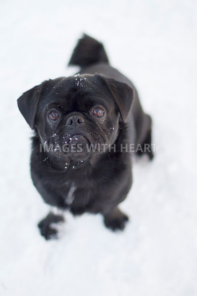 Black Pug in Snow