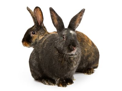 Two Harlequin Cross Breed Rabbits
