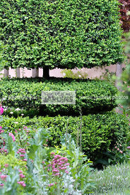 Buxus sempervirens 'Rotundifolia' (buis taillé), Common box, Paysagiste : Arne Maynard, CFS, Angleterre