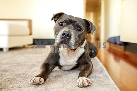 Senior blue Staffordshire Bull Terrier in a drop on carpet at home with head tilt