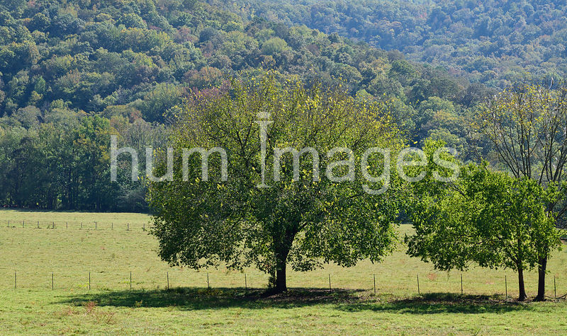 Large tree in field