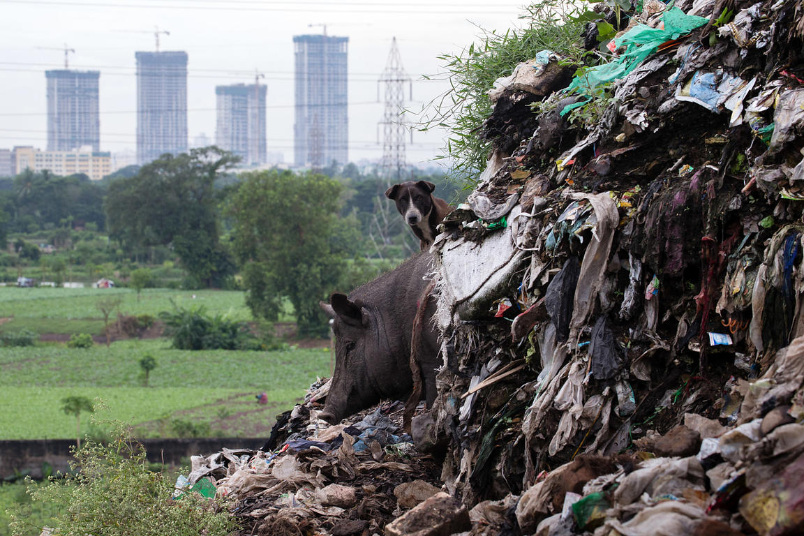 A pig and a stray at the Dhapa dumping ground, the main landfill for Kolkata's 13 million people, Dhapa, Kolkata, India. Dhap...