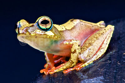 Brown tree frog (Boophis picturatus)