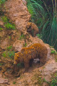 European brown bear (Ursus arctos) viewed from above, captive, Cabarceno Park, Cantabria, Spain, June.