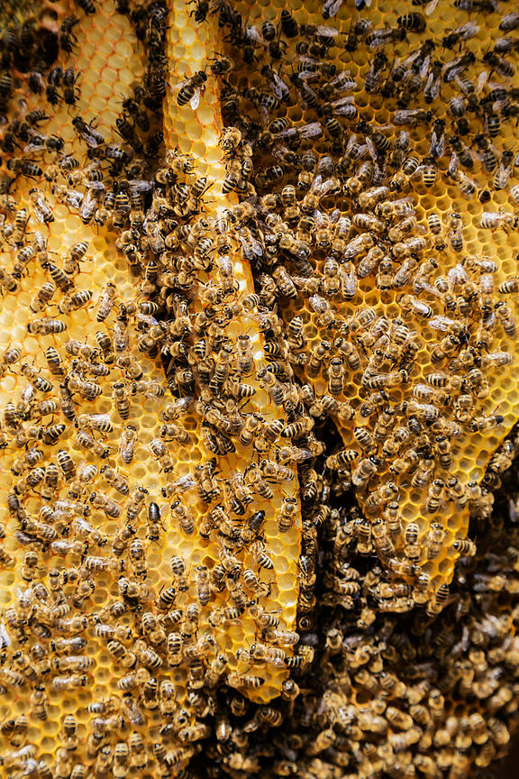 Bees on Honeycomb in an Apiary