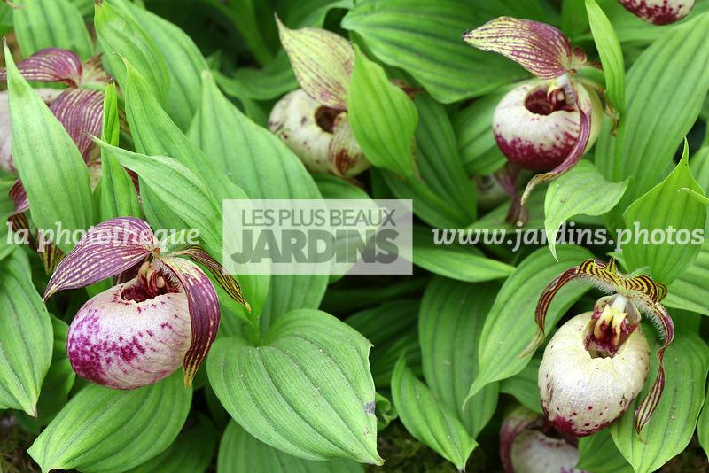 la photothèque | LES PLUS BEAUX JARDINS | Cypripedium ...