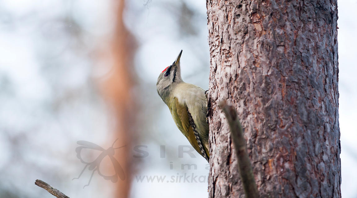 Grey-headed Woodpecker - Harmaapäätikka - Picus canus
