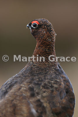 Male Red Grouse (Lagopus lagopus scotica), Lochindorb, Scottish Highlands
