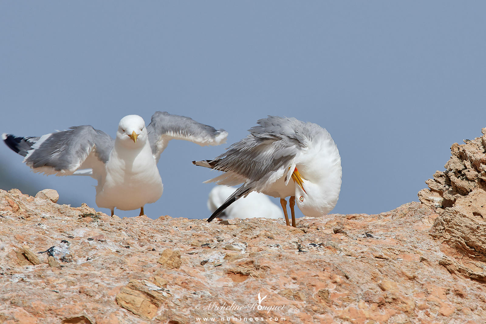 Yellow-legged gulls in preening session