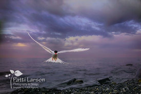 Arctic Tern in Stormy Weather