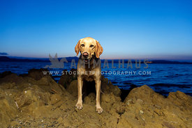 smiling golden retriever standing on rocky shoreline at sunset