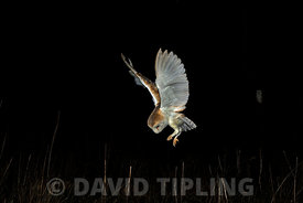 Barn Owl Tyto alba huntng in meadow at night North Norfolk