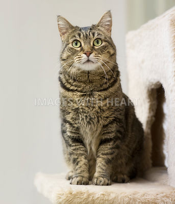 Tabby cat sitting and looking at camera