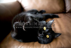 black cat rolling on couch