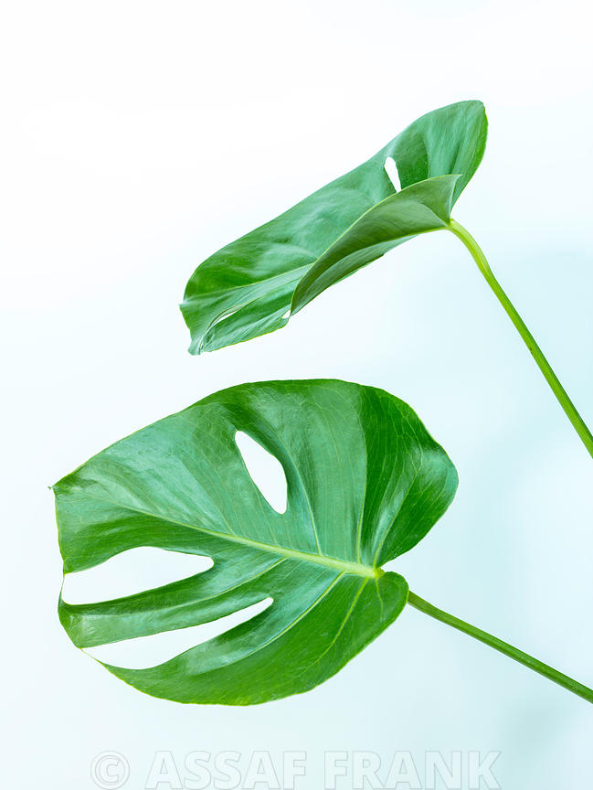 Monstera Swiss