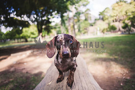 dappled daschund diferent colour eyes, standing on a log in the park