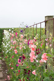 Row of sweet peas