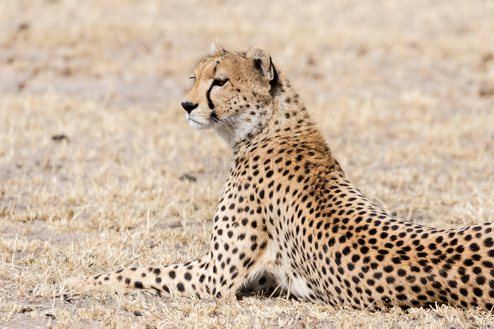 Portrait of a Cheetah on the Serengeti