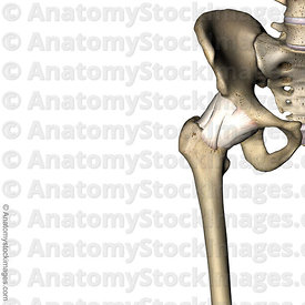 hip-joint-capsule-front