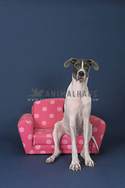 great dane sitting on pink couch against blue background
