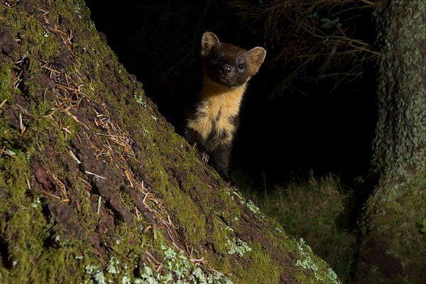 A young Pine Marten kit takes a closer look at the camera...