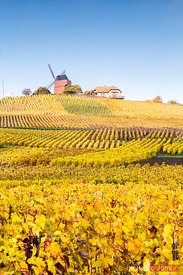 Windmill and vineyards, Verzenay, Champagne, France