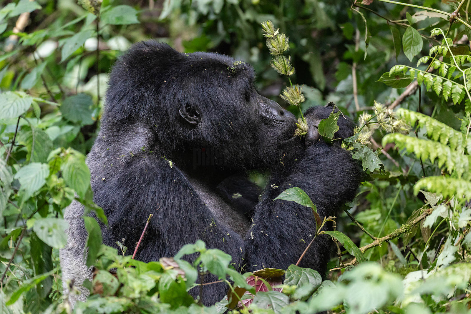 Portrait of a Mountain Gorilla from the Habinyanja Group