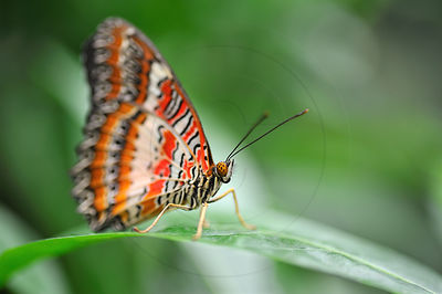 Papillon Cethosia - Red Lacewing (Cethosia biblis)