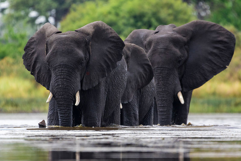 Low Angle of Elephants Crossing a Body of Water