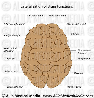 Lateralization of the brain, labeled diagram.