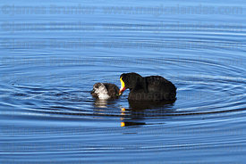 Adult Giant coot (Fulica gigantea) and young
