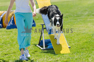 black & white border collie comes down teeter with his handler by his side