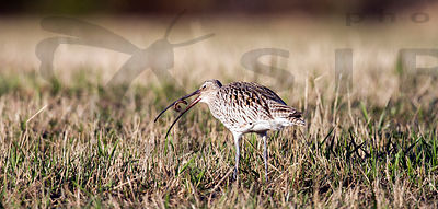 Curlew and worm