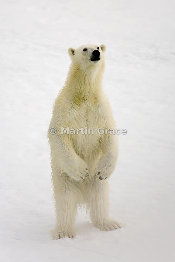 Polar Bear (Ursus maritimus) standing up on its hind legs, Storfjorden, Svalbard