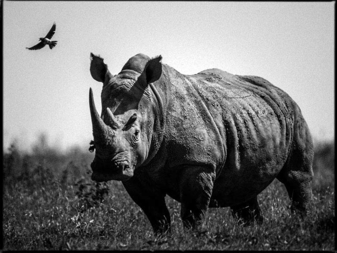 44256-Quiet_white_rhino_with_a_bird_Kenya_2013_Laurent_Baheux