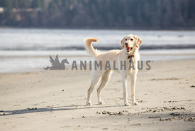 Yellow labradoodle on the beach holding a ball