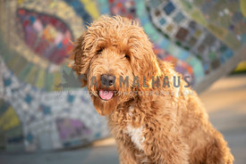 large golden doodle puppy sitting in front of colorful wall