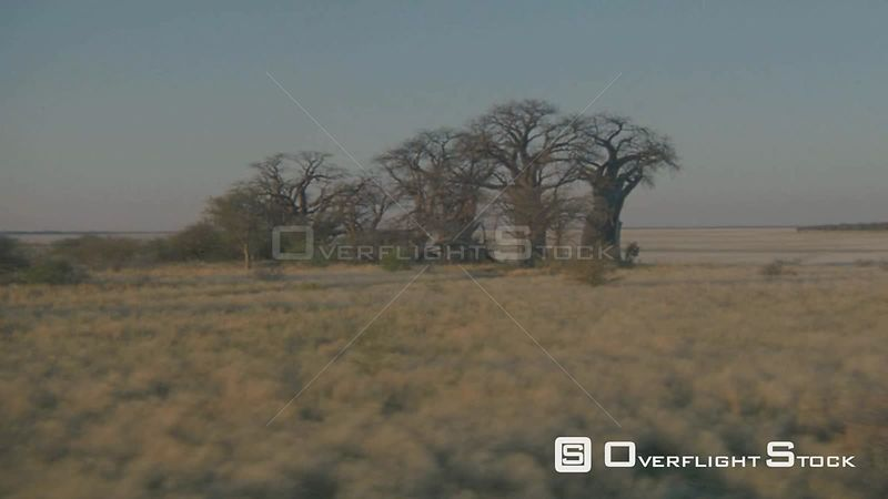 Aerial long wide angle shot group of baobab trees on edge of salt pan with grass plain in foreground Botswana