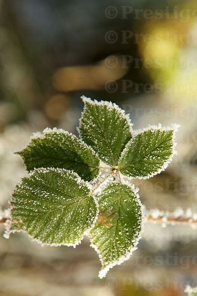 Frosty green leaves