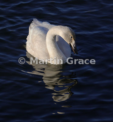 Juvenile Whooper Swan (Cygnus cygnus) in strongly angled late afternoon sunshine, Dumfries & Galloway, Scotland