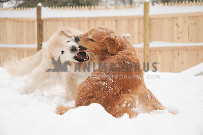 Golden Retrievers Play Fighting in the snow 3