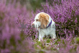 Dog laying down in a field of Heather