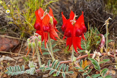 All red variant of Sturt's Desert Pea flower.
